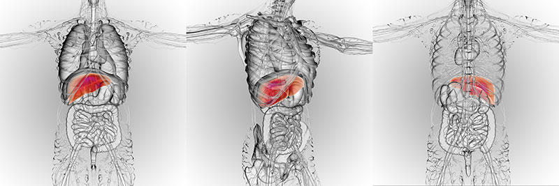Where Is The Liver? Xray Image Shown